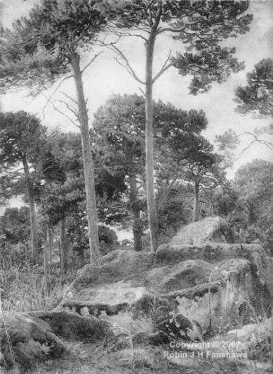 Scotch Firs, near Huntly